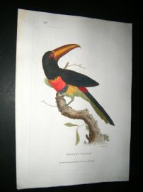 Shaw C1800's Antique Hand Col Bird Print. Aracari Toucan